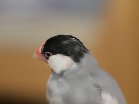 未 ごま 頭 ハゲ ボサボサ 換羽 (1)