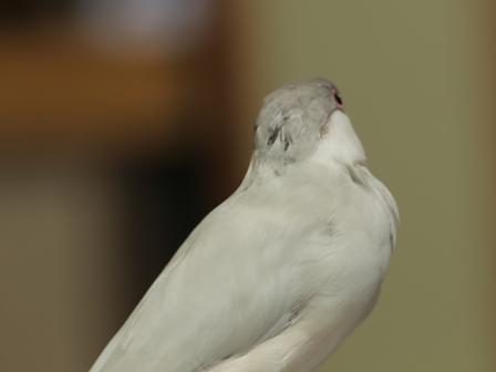 未 セサミ ボサボサ ハゲ 換羽 頭 (1)