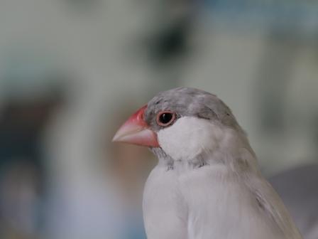 未 セサミ 頭 換羽 (1)