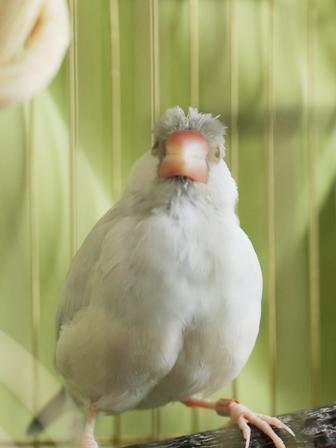 未 セサミ 風呂上り 羽繕い ボサボサ (3)