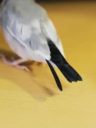 未 ごま しっぽ 新羽 抜く (2)