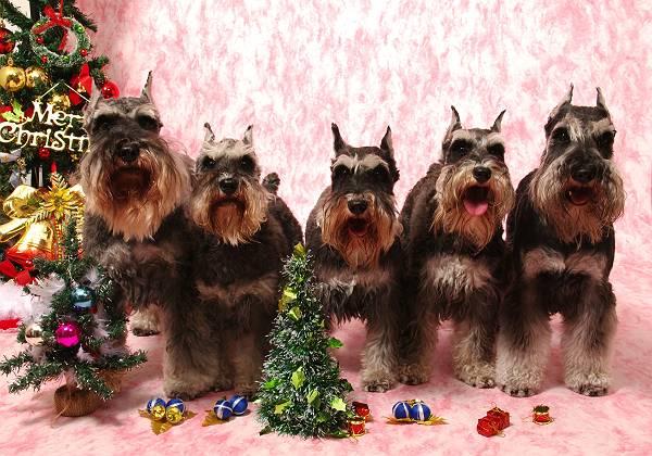 我が家のわんこクリスマス写真-s