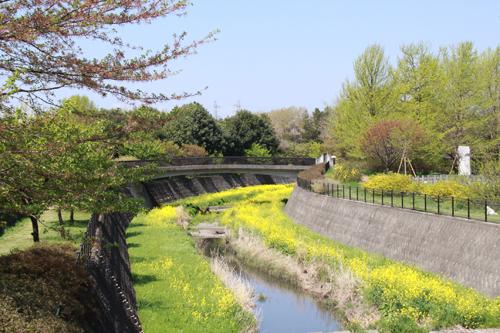 川と菜の花