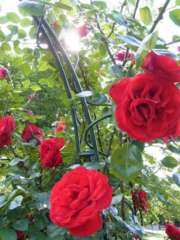 アーチの赤いバラ
