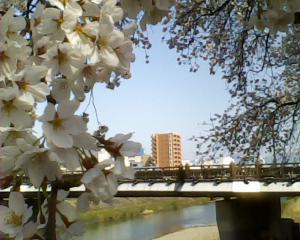 足羽川の桜のトンネル