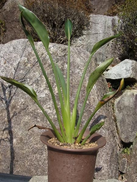 pavifolia・4号鉢