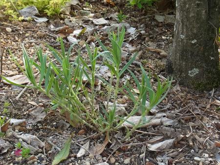宿根かすみ草