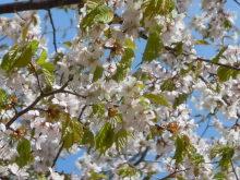 Gooseberryの植木鉢-ヤマザクラ