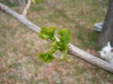 Gooseberryの植木鉢-イチョウの子供