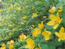 Gooseberryの植木鉢-ヤマブキ