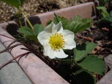 Gooseberryの植木鉢-イチゴの花