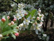 Gooseberryの植木鉢-コナシ