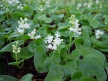 Gooseberryの植木鉢-マイヅルソウの花