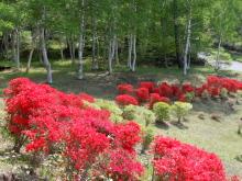 Gooseberryの植木鉢-近所のツツジ