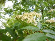 Gooseberryの植木鉢-ナナカマドの花