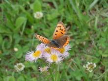 Gooseberryの植木鉢-ヒメジョオンと蝶々
