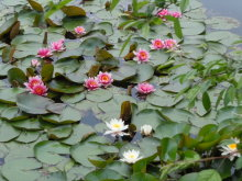 Gooseberryの植木鉢-スイレン