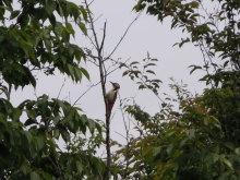Gooseberryの植木鉢-アカゲラ