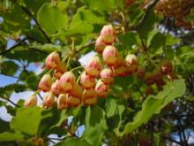 Gooseberryの植木鉢-サラサドウダン