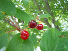 Gooseberryの植木鉢-ヤマザクラの実