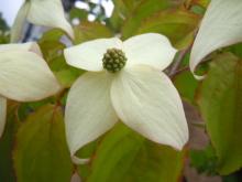 Gooseberryの植木鉢-ヤマボウシ