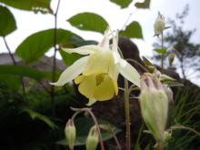 Gooseberryの植木鉢-キバナオダマキ