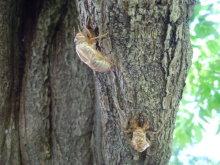 Gooseberryの植木鉢-ハルゼミの抜け殻