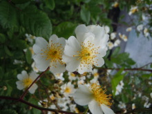 Gooseberryの植木鉢-ノイバラ