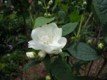 Gooseberryの植木鉢-ニオイウツギ