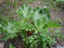 Gooseberryの植木鉢-また伸びた
