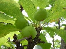Gooseberryの植木鉢-スモモの実