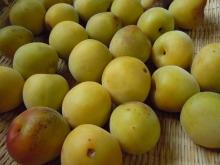 Gooseberryの植木鉢-青梅