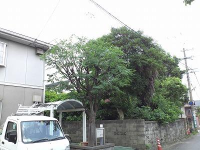 ケヤキAfter