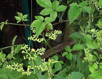 ヒメスズメバチ2