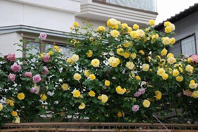 バラの生垣