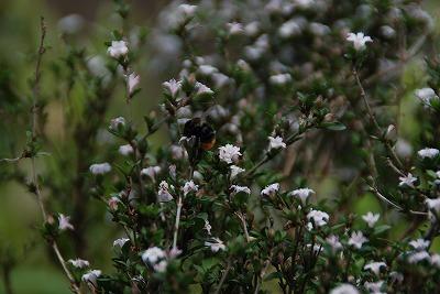 ハクチョウゲ&ミツバチ
