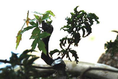 モミジ接ぎ木2