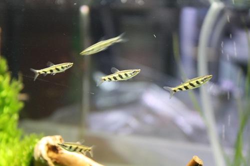 ナノストムス エスペイ 東海 岐阜 熱帯魚 水草 観葉植物販売 Grow aquarium