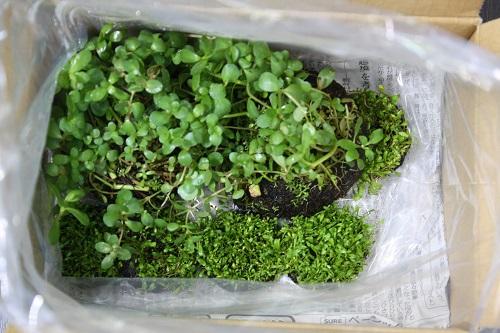 セットの侘び草 東海 岐阜 熱帯魚 水草 観葉植物販売 Grow aquarium