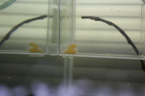 ゴールデンキングロイヤルペコルティア ペア東海 岐阜 熱帯魚 水草 観葉植物販売 Grow aquarium