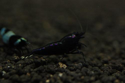 海老龍 ブラックシャドー 東海 岐阜 熱帯魚 水草 観葉植物販売 Grow aquarium