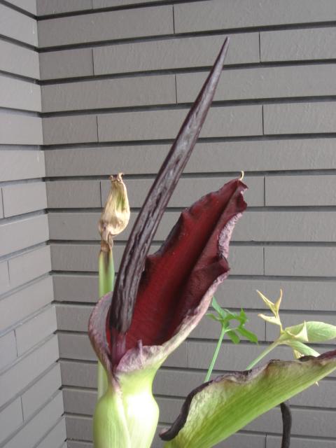 Dracunculus vulgaris2