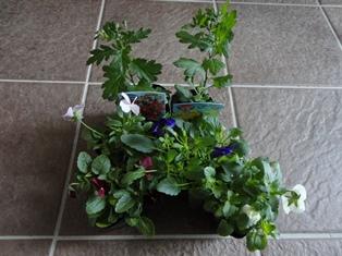 ビオラ&寒菊