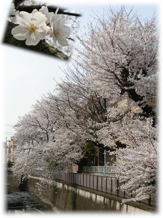 お花見2013-3