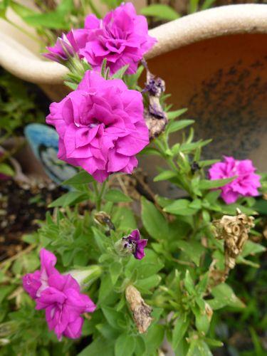 2012.08.13バラ咲きペチュニア チャーミングベルP1100233
