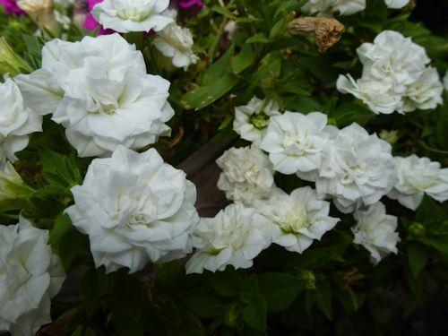 2012.08.13バラ咲きペチュニア チャーミングベルP1100232