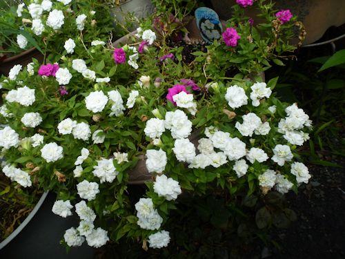 2012.08.13バラ咲きペチュニア チャーミングベルP1100231