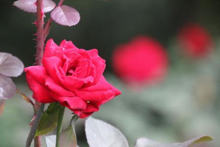 井頭公園の秋バラ