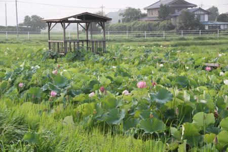 花咲草香菜