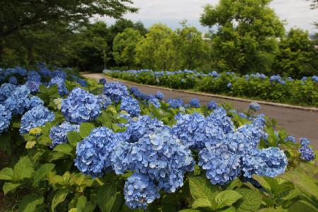 東那須野公園のアジサイ